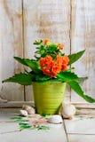 在罐的橙色花 库存照片