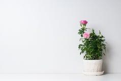 在罐的玫瑰 库存照片