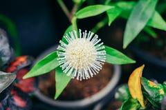 在罐的白色圆球花在庭院 库存照片