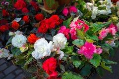在罐的白色,红色和桃红色秋海棠花在庭院市场显示的待售 免版税库存照片