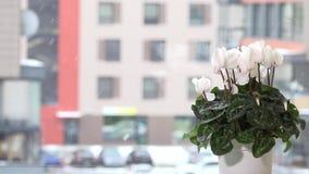 在罐的白色仙客来花在窗口基石和雪花下雪秋天外面 股票视频