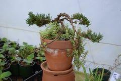 在罐的盆景结构树 免版税库存照片