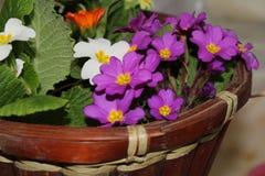 在罐的紫色紫罗兰 库存图片