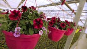 在罐的红色和桃红色喇叭花,在一个罐的喇叭花自一间大明亮的温室 开花的喇叭花关闭  股票视频