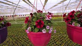在罐的红色和桃红色喇叭花,在一个罐的喇叭花自一间大明亮的温室 开花的喇叭花关闭  股票录像