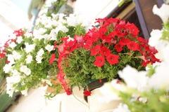 在罐的红色和白色喇叭花在一个白色房子前面在意大利 库存图片