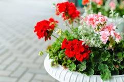 在罐的红色庭院大竺葵花 免版税库存照片