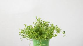 在罐的绿色麝香草草本在桌上 股票录像