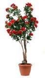在罐的罗斯结构树 免版税库存照片