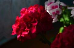 在罐的美丽的明亮的花大竺葵 免版税库存图片