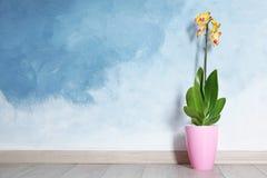 在罐的美丽的热带兰花花在颜色墙壁附近的地板上 免版税库存照片