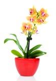 在罐的美丽的黄色兰花 免版税图库摄影