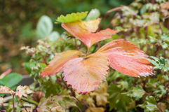 在罐的草莓树叶子在秋天 免版税库存照片