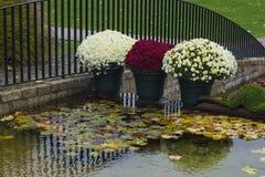 在罐的菊花在公园 免版税库存照片