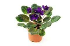 在罐的非洲紫罗兰花在被隔绝的白色背景 免版税库存照片