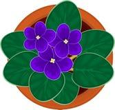 在罐的非洲紫罗兰花 库存图片
