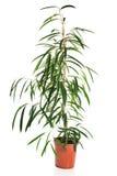 在罐的龙血树属植物 免版税库存照片