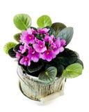 在罐的紫罗兰 免版税图库摄影