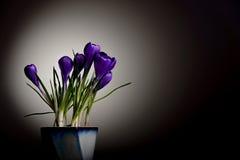 在罐的紫色花 免版税库存照片