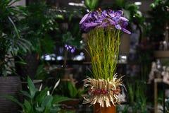 在罐的紫色花 免版税库存图片