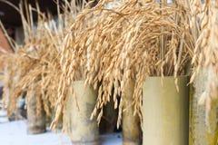 在罐的黄色水稻种子 图库摄影