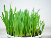 在罐的绿草 免版税库存图片