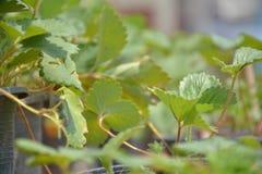 在罐的Strawbery叶子 免版税库存照片