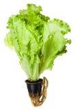 在罐种植的新鲜的绿色散叶莴苣被隔绝 库存图片
