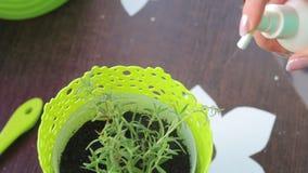 在罐种植的罗斯玛丽分支从浪花瓶被灌溉 股票录像