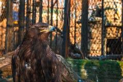 在网后的严肃的老鹰在动物园里 免版税图库摄影