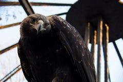 在网后的严肃的老鹰在动物园里 免版税库存图片