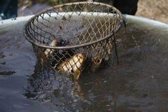 在网捉住的鲤鱼 免版税图库摄影