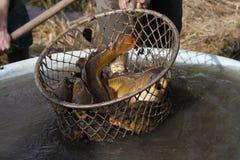 在网捉住的鲤鱼 免版税库存照片