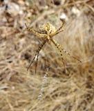 在网特写镜头的Argiope蜘蛛 免版税库存照片