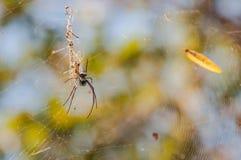 在网的一只大蜘蛛 库存图片