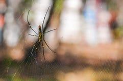 在网的一只大蜘蛛 免版税库存图片