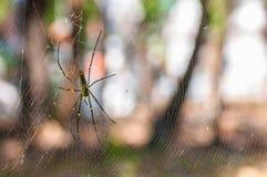 在网的一只大蜘蛛 图库摄影