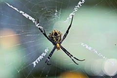 在网的多色的Argiope蜘蛛 免版税图库摄影
