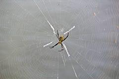 在网的多色的Argiope蜘蛛 免版税库存照片