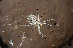 在网的大蜘蛛 免版税库存图片