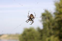 在网的巨大的蜘蛛在空气 危险昆虫等待的受害者 免版税图库摄影