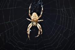 在网的欧洲发怒蜘蛛Araneus Diadematus 免版税库存图片