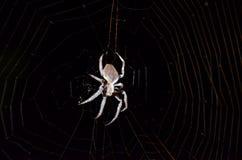 在网的澳大利亚庭院天体织布工蜘蛛 免版税库存图片