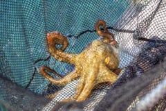 在网的章鱼 免版税库存照片