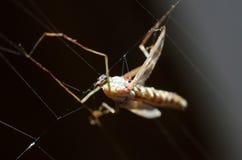 在网的蚊子 库存图片
