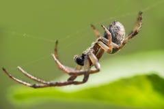 在网的蜘蛛有blured背景,宏观照片 免版税图库摄影