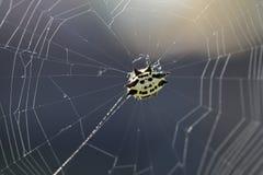 在网的蜘蛛,反对阳光 免版税库存照片