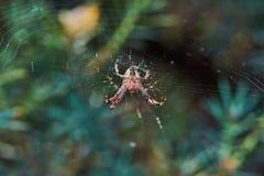 在网的蜘蛛 免版税图库摄影