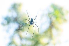 在网的金黄天体织布工蜘蛛 免版税库存图片