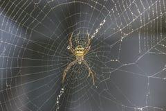 在网的黑和黄色花园蜘蛛 免版税库存照片